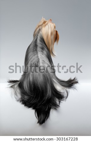 Yorkshire Terrier Dog Long Groomed Hair Stock Photo Edit Now