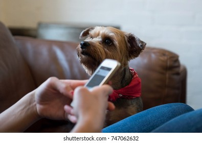 A yorkshire terrier dog, looking at its owner seeking attention. The owner is busy on a mobile phone.