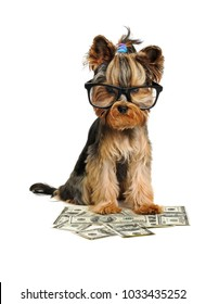 yorkshire terrier dog and money isolated on white
