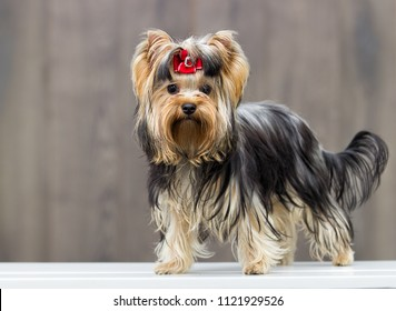 yorkshire terrier dog on a wooden background