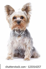 Yorkshire terrier dog over white background