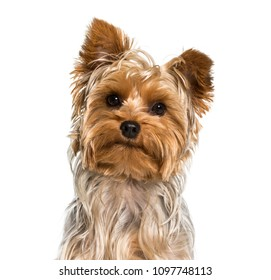 Yorkshire terrier dog in portrait against white background