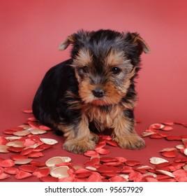 Yorkshire terrier Dog puppy portrait