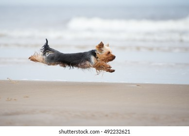 yorkshire terrier dog running on a beach