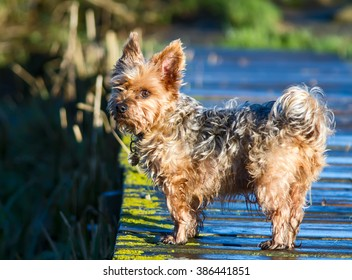 Yorkshire Terrier Dog with scruffy wet fur.
