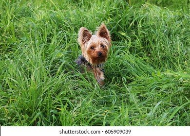 Yorkshire Terrier Dog Sitting In Green Grass