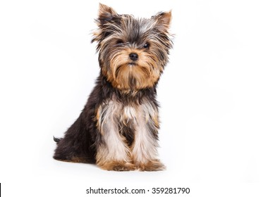 Yorkshire Terrier dog sitting and looking at the camera (isolated on white)