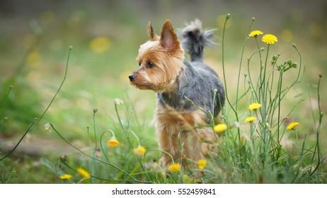 Yorkshire Terrier dog standing in the garden.