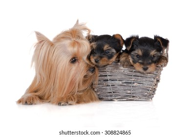 yorkshire terrier dog with two puppies