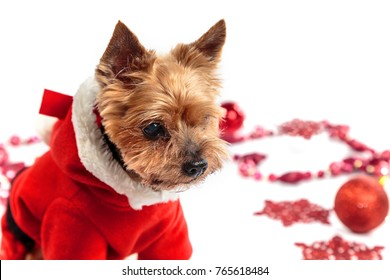 Yorkshire Terrier dressed as Santa on a light background