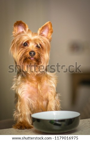 Yorkshire Terrier Food Bowl Stock Photo Edit Now 1179016975
