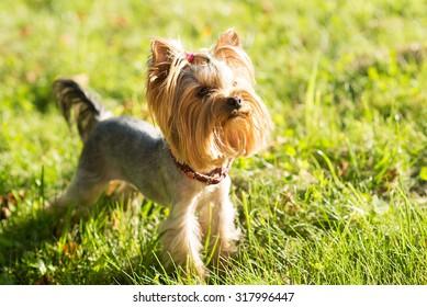 Yorkshire terrier, friendly pet, little dog