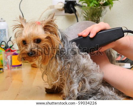 Yorkshire Terrier Getting His Hair Cut Stock Photo Edit Now