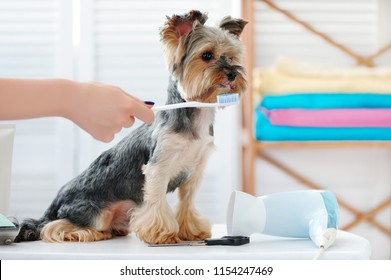 Yorkshire terrier getting teeth  cleaning with a toothbrush