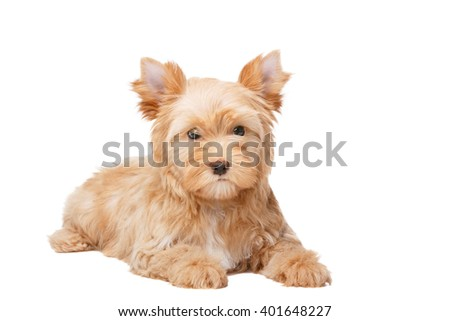 Yorkshire Terrier Golddust On White Stock Photo Edit Now 401648227