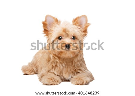 Yorkshire Terrier Golddust On White Stock Photo Edit Now 401648239
