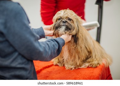Yorkshire terrier with grooming master in salon. pet, health care and people concept