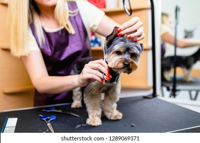 Yorkshire terrier at grooming salon.