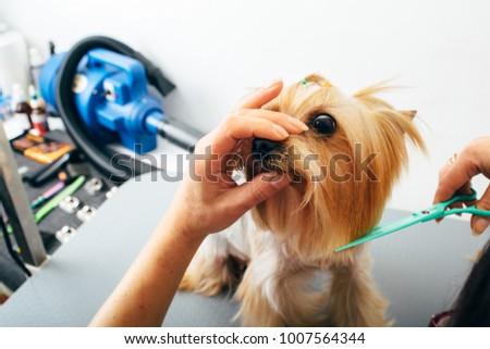 Yorkshire Terrier Grooming Salon Groomer Grooming Stock Photo Edit