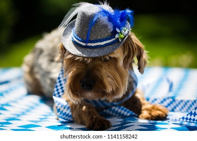 yorkshire terrier with hat, white blue, rhombuses, oktoberfest