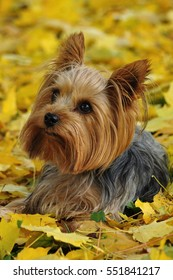 The Yorkshire Terrier, also known as Yorkie is a small dog, bred as an in-house pet. It is gentle and friendly with children, yet agile and a fast runner. Its long fur requires constant grooming.