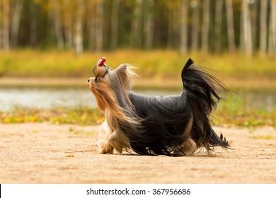 Yorkshire terrier with long hair running through autumn park