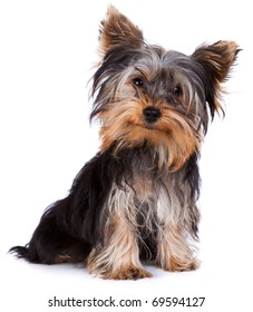 Yorkshire terrier looking at the camera in a head shot, against a white background