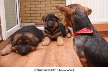 Yorkshire terrier looking at german shepherd puppy
