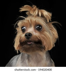 Yorkshire Terrier looking to the left in dark studio