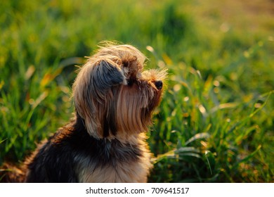 Yorkshire terrier looking up on a background of green grass in sunset backlight. Close up profile of small cute dog outdoors. Dog waiting for reward.