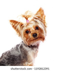 Yorkshire terrier looks to camera isolated on white