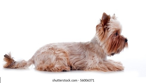 Yorkshire Terrier lying in front, isolated on white background, studio shot.