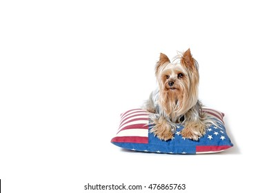 Yorkshire terrier is lying on a pillow with a design of American flag. Isolated on the white background