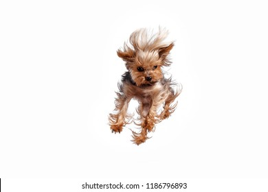 Yorkshire terrier mini jumping against a white studio background