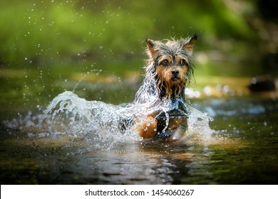 Yorkshire Terrier mongrel dog running in a river