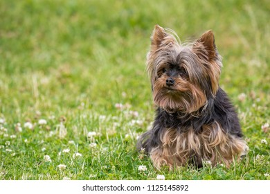 Yorkshire terrier on the grass