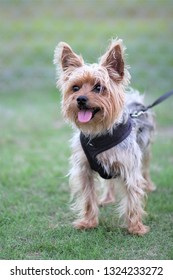 Yorkshire terrier on the grass.