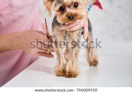 Yorkshire Terrier On Grooming Stock Photo Edit Now 796009930