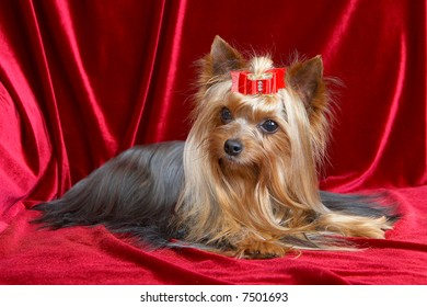 Chocolate Yorkshire Terrier Dog Christmas Stock Photo Edit Now
