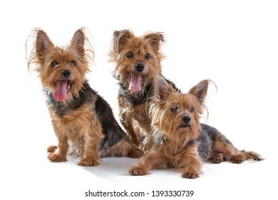 Yorkshire Terrier on a white background