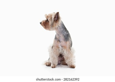 Yorkshire terrier on white gradient background