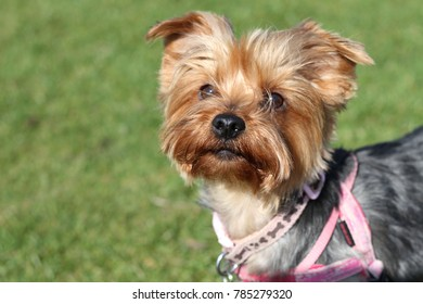Yorkshire Terrier in a park