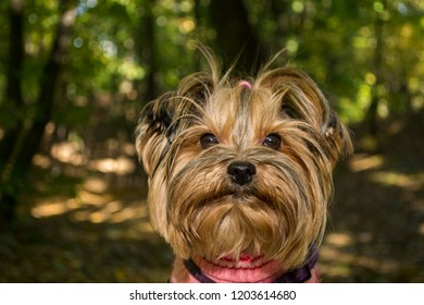 Yorkshire terrier in the park at autumn. Cute dog outdoor.
