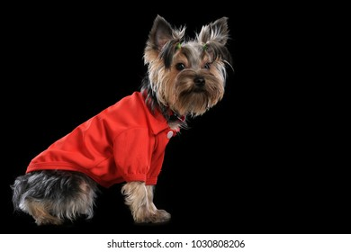 Yorkshire Terrier. Photosession on a black background in different original clothes.