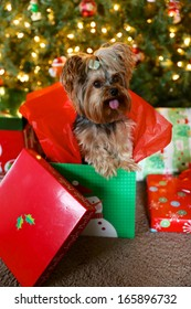 Yorkshire Terrier pops out of wrapped Christmas present with a holiday tree in the background.