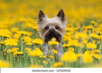 Yorkshire Terrier portrait on blooming dandelion meadow