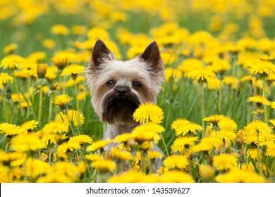Yorkshire Terrier portrait on blooming dandelion meadow