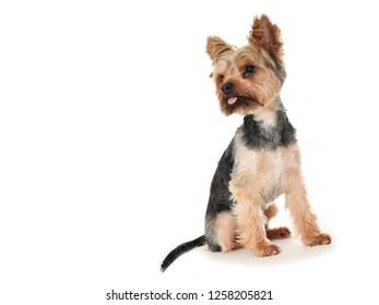 Yorkshire Terrier posing on white background