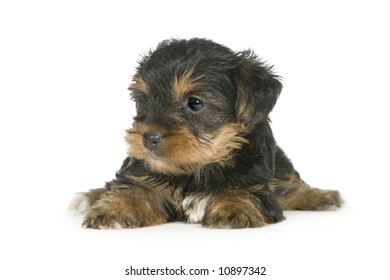 Yorkshire Terrier puppies (1 month) in front of a white background