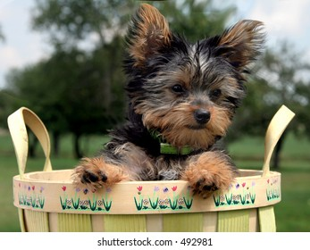 Yorkshire Terrier puppy in an apple basket